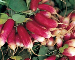 radish 'French Breakfast 3' (radish)