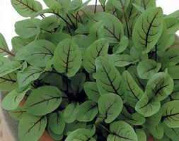 Sorrel red veined (Salad leaves red-veined sorrel)