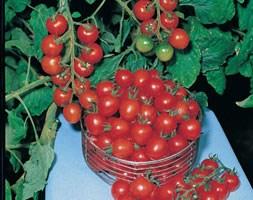 tomato 'Gardeners Delight' (cherry tomato)