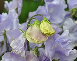 Lathyrus odoratus 'Charlie's Angel' (spencer sweet pea seed Charlies Angel)