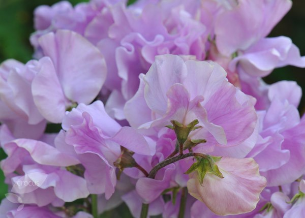 spencer sweet pea seed Daphne