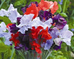 Lathyrus odoratus Help for Heroes Mixture (spencer sweet pea seed Help for Heroes)