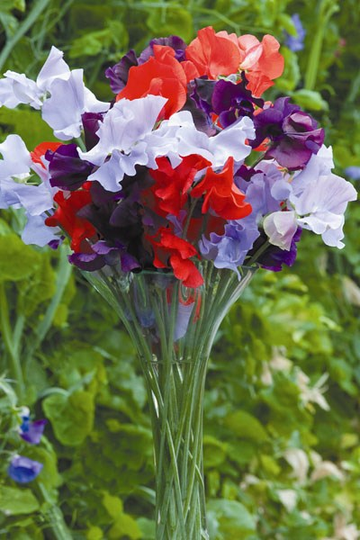 spencer sweet pea seed Help for Heroes