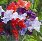 Lathyrus odoratus Help for Heroes Mix