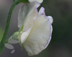 Lathyrus odoratus 'King's High Scent' (modern grandiflora sweet pea seed King's High Scent)