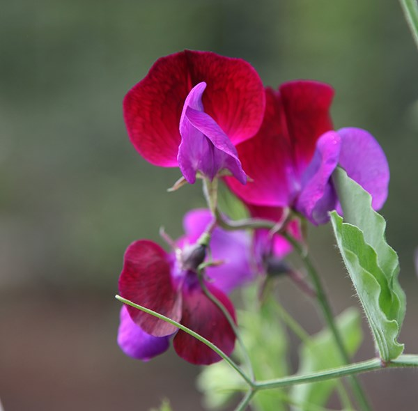 spencer sweet pea seed Matucana
