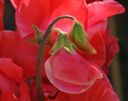 Lathyrus odoratus 'Restormel' (spencer sweet pea seed Restormel)