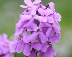 Hesperis matronalis (sweet rocket)