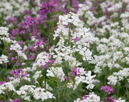 Hesperis matronalis var. albiflora (sweet rocket)