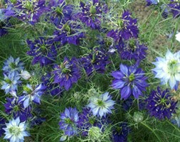 Nigella damascena 'Oxford Blue' (love-in-a-mist)