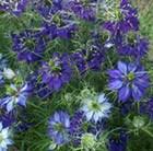Nigella damascena Oxford Blue