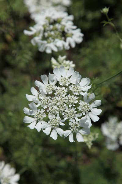 white laceflower