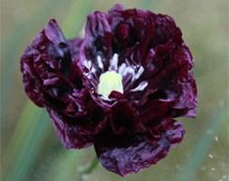 Papaver somniferum (Paeoniiflorum Group) 'Black Paeony' (poppy)