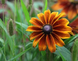 Rudbeckia hirta 'Autumn Shades' (coneflower)