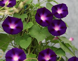 Ipomoea nil 'Grandpa Ott' (morning glory)