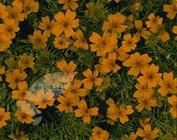 Tagetes tenuifolia 'Golden Gem' (marigold)