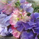 Pastel sweet pea collection