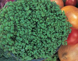 cress 'Curled' (curled cress)