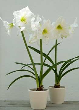 Hippeastrum 'Snow Queen' (amaryllis Snow Queen bulb)