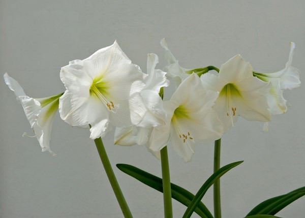 amaryllis Snow Queen bulb