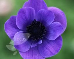 Anemone coronaria 'Mr Fokker' (anemone bulbs)
