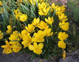 Sternbergia lutea (autumn daffodil bulbs)