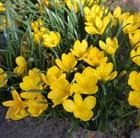 autumn daffodil
