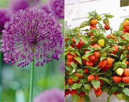 Chinese lantern and allium