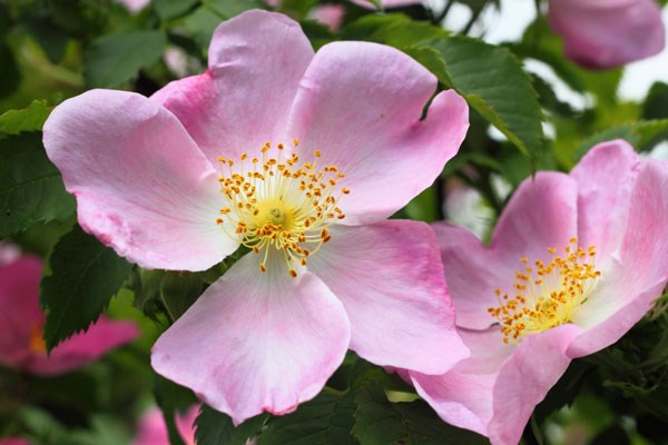 dog rose hedging (shrub) - 25 plants - 30-40cm