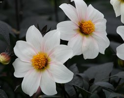Dahlia 'Twyning's After Eight' (dahlia tuber)