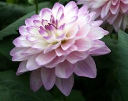 Dahlia 'Blue Wish' (dahlia tuber)