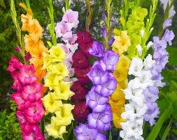 Gladiolus mixed colours (gladioli bulbs)