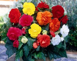 Begonia mixed doubles (begonia bulbs)