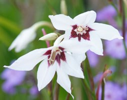 Gladiolus Murielae (Bulb Of The Year 2014 - Abyssinian Gladiolus (Syn Acidanthera Or Callianthus ))