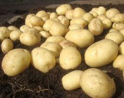 potato 'Casablanca' (PBR) (potato - first early, Scottish basic seed potato)