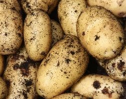 potato 'Charlotte' (potato - second early, Scottish basic seed potato)