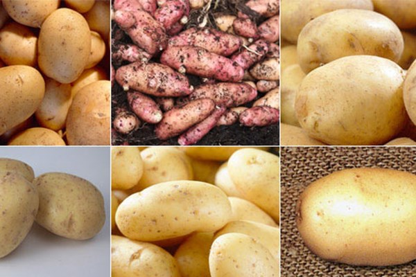 Look forward to new potatoes in spring