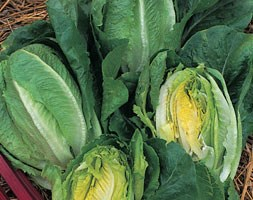 lettuce (cos)