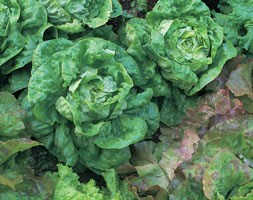 lettuce 'All Year Round' (lettuce)