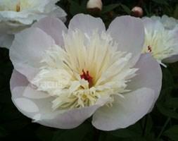 Paeonia lactiflora 'Immaculee' (peony)