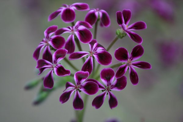 species pelargonium