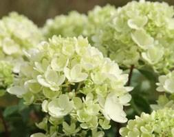 Hydrangea paniculata 'Bombshell' (PBR) (hydrangea)