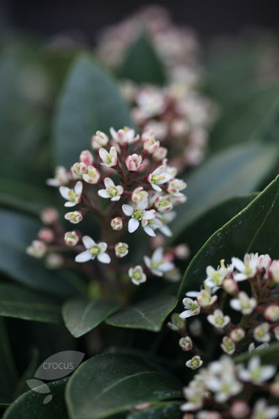 skimmia (female)