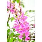 pink-flowered indigo