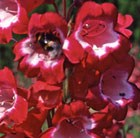 Penstemon Pensham Amelia Jane