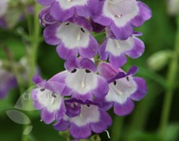 Penstemon 'Pensham Czar' (beard tongue)