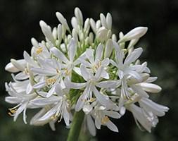 Agapanthus africanus 'Albus' (African lily)