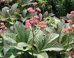 Rodgersia pinnata 'Superba' (rodgersia)