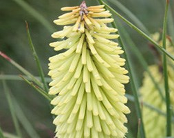 Kniphofia 'Percy's Pride' (red hot poker)