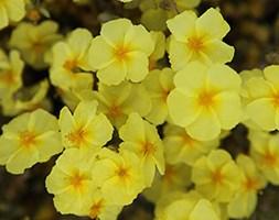 Helianthemum 'Wisley Primrose' (rock rose)
